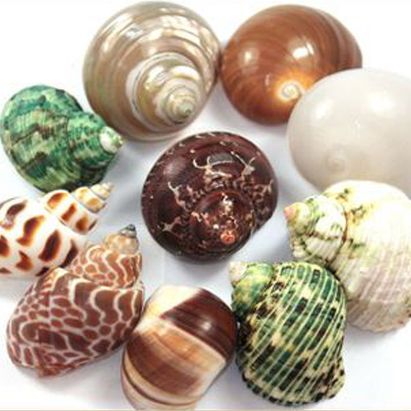 Natural Sea Shells Fossils Collection Biology Specimens Science Kit Ornament