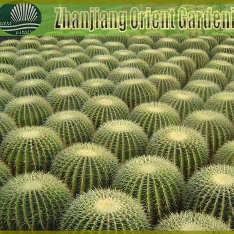 Echinocactus grusonii golden ball cactus ornamental plants