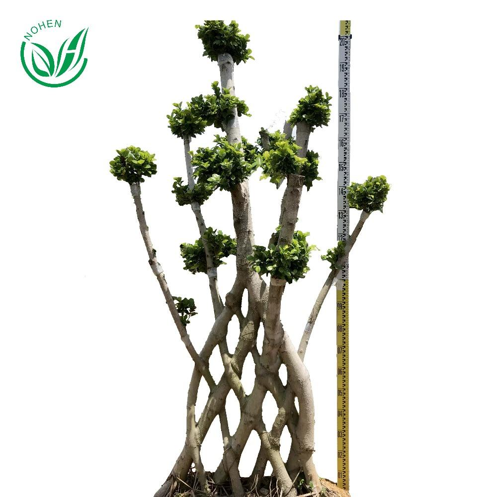Wholesale live natural big or large ficus microcarpa tree bonsai plant outdoor indoor landscape oramental decoration nursery or