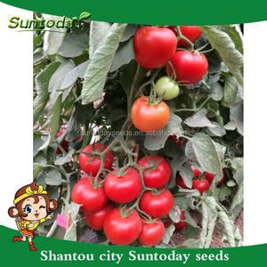 Suntoday indéterminée champ ouvert à effet de serre frais en gros hybride tomate haute fois graines pour vente société (22022)