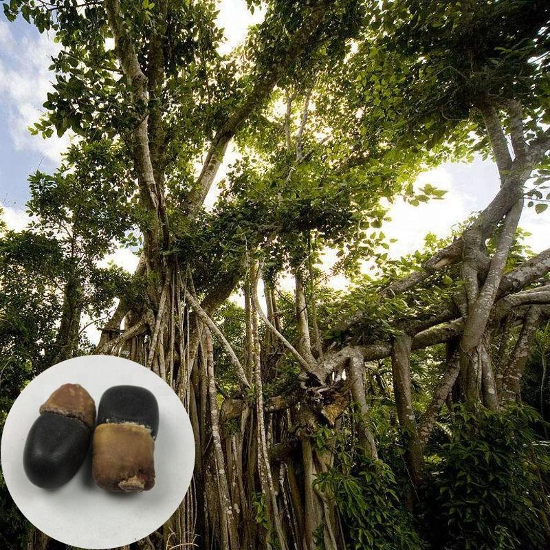 Tree Of Buddha Good Quality 10 Year Old Tree Seeds Natural Bodhi Tree Seeds