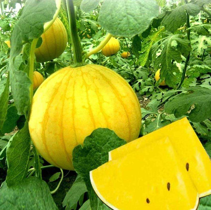 High sweet yellow watermelon seeds special color 90% genermination 200 seeds per bag
