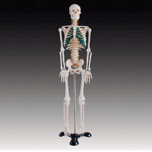 BIX-A1004 Midsize Skeleton 85cm Middle Size Skeleton with Spinal Nerve Human Medical Model