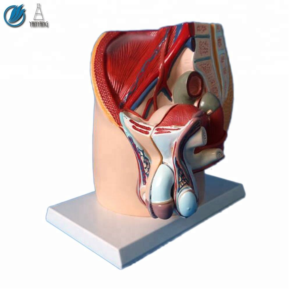 Human Male Reproductive Urinary Pelvic System Model