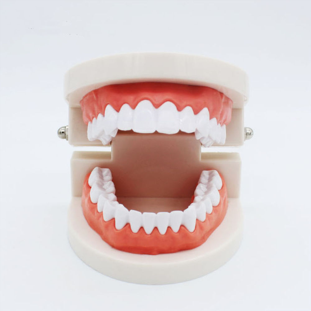 Dental Study Zahn modell Dental Simple Teeth Model