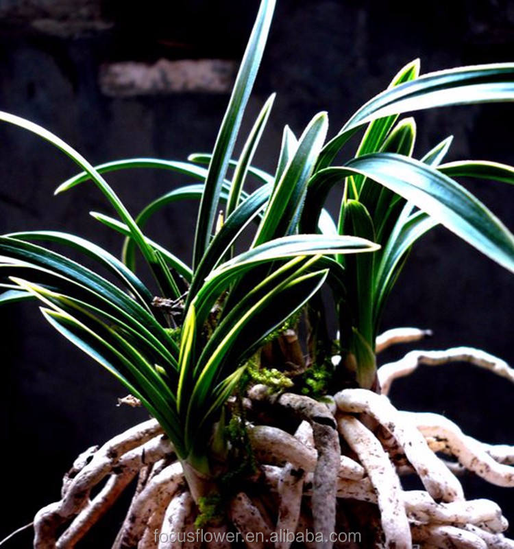 Wholesale Fresh Cymbidium Goeringii Leaves For Side Lobe