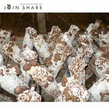 High yield shiitake mushroom logs fungi growing for cultivating
