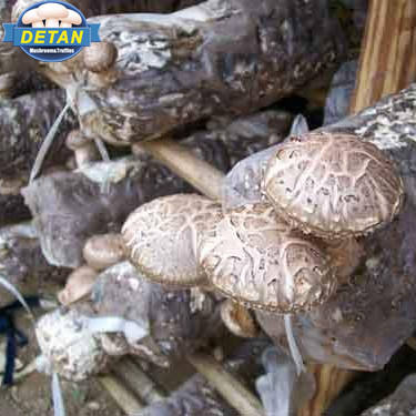 Shiitake Detan Log/Spawn