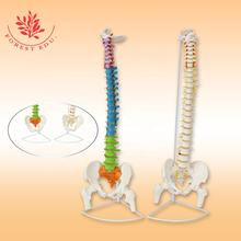 Medical science teaching tool anatomical model spine