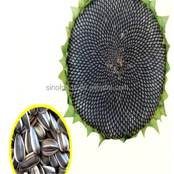 Xiang ri kui zhong zi New Crop striped sunflower seeds
