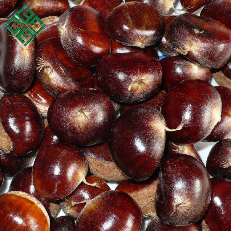 dandong chestnut from factory fresh chinese big chestnuts