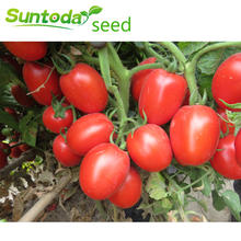 Rio grande determinate cherry vegetable hybrid f1 high yield  tomato seeds