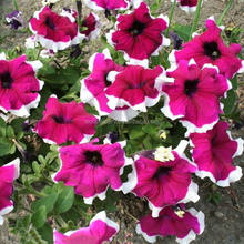 Hybrid F1 petunia seeds with double colorful flowers