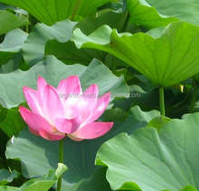 Lotus leaf green root extract price | lotus heart extract