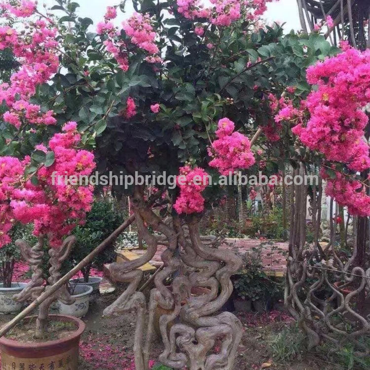 Chinese letter Lagerstroemia indica
