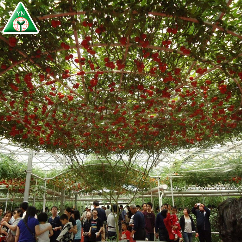 Alta qualidade venda quente George F1 F1 Hybrid sementes de tomate de árvore