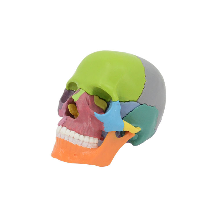 colored detachable 15 parts medical skull model