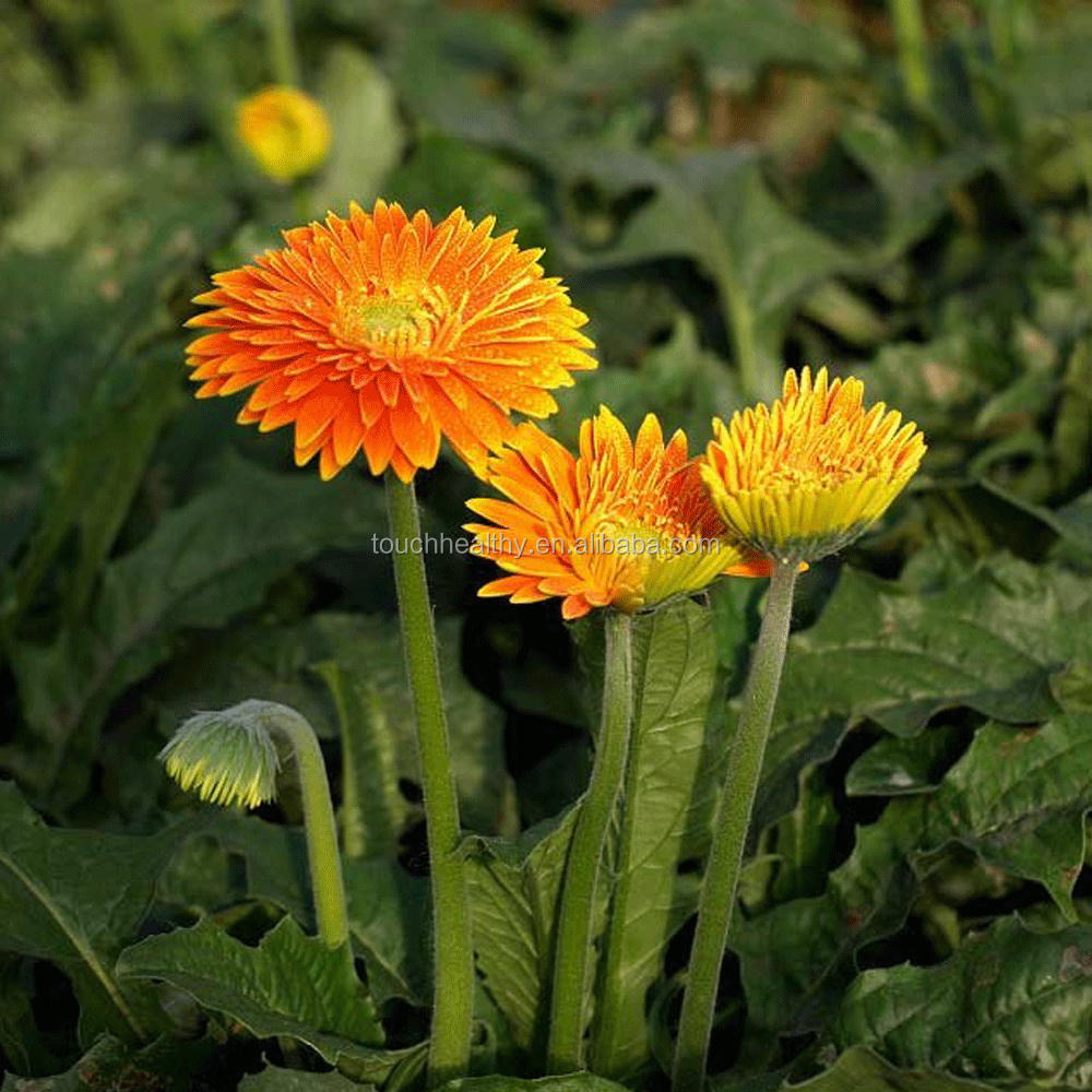 Gerbera seeds plant during spring and autumn 1gram/bags