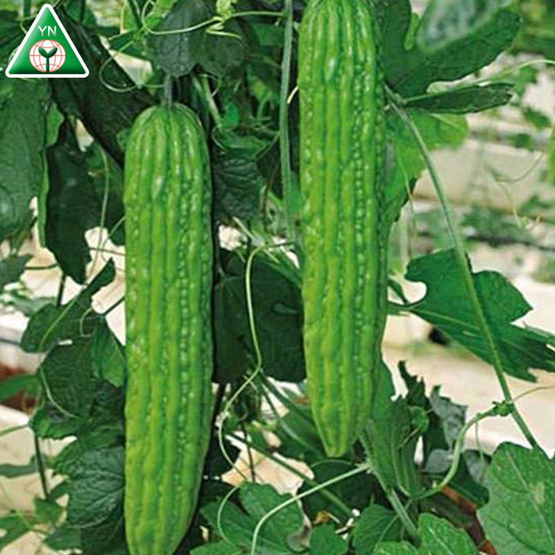 Verde F1 enfermedad Anti-Virus alto rendimiento híbrido largo <span class=keywords><strong>semillas</strong></span> <span class=keywords><strong>de</strong></span> calabaza <span class=keywords><strong>melón</strong></span> amargo verde F1