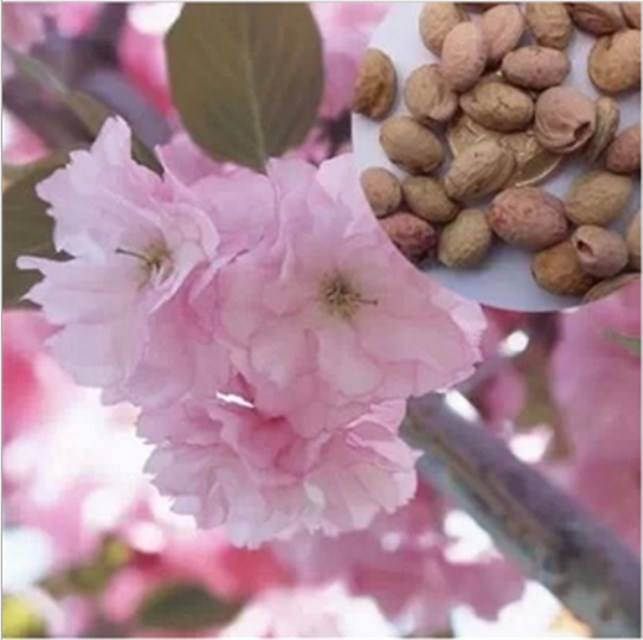 Ying hua High germination rate Sakura seed cherry blossom seeds for sale
