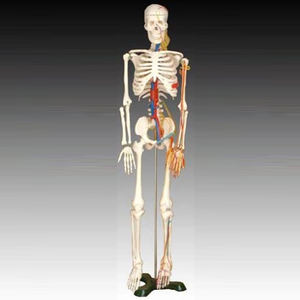 Hot sale 85cm Human Teaching Skeleton with Nerves and Blood Vessels Model, Human Medical Skeleton Model
