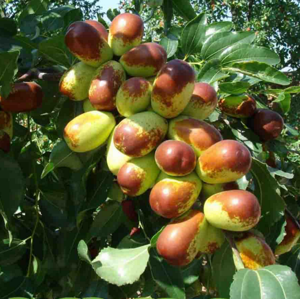 jujube tree new arrival fruit tree grafted yangtze jujube seedling from nursery