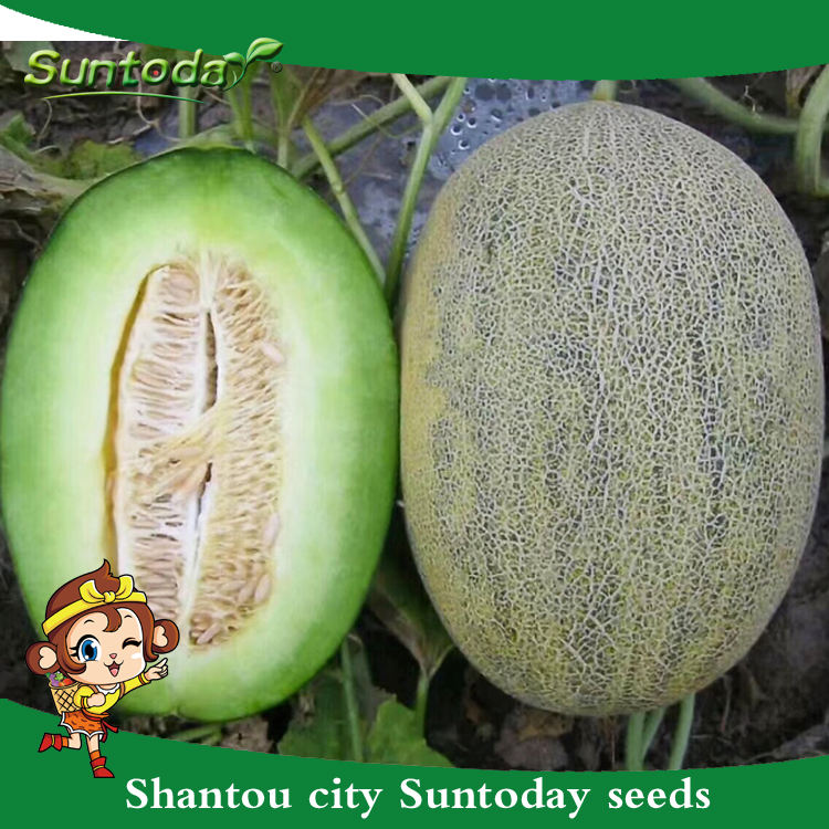 La red de la piel verde carne japonés vegetales híbrido F1 semillas de melón