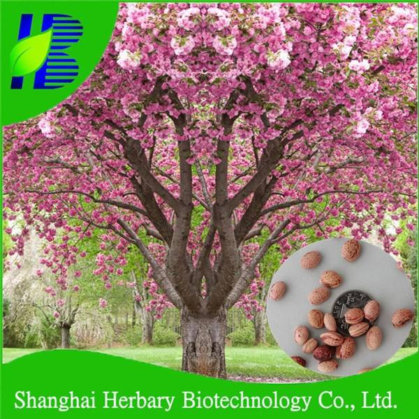 Hot Sale Bonsai Tree Seeds Cherry Blossom Tree Seeds For Growing