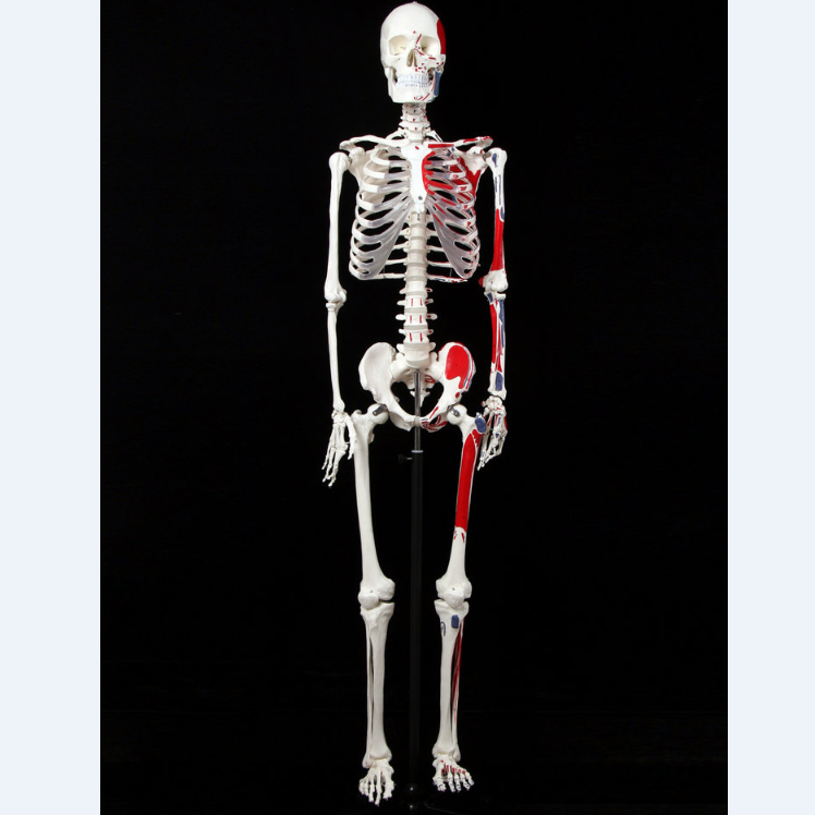 170cm skeleton model with muscle start and stop points, skeletal model
