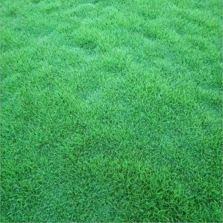 Shanghai herbary supply different types lawn seeds, high quality zoysia grass seed