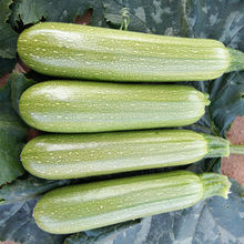 Wholesale Hybrid Vegetable Seeds Organic Summer Squash Seed