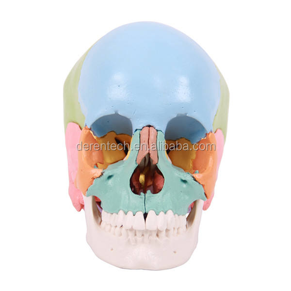 Anatomical Skull Model,Didactic Color Painted Skull