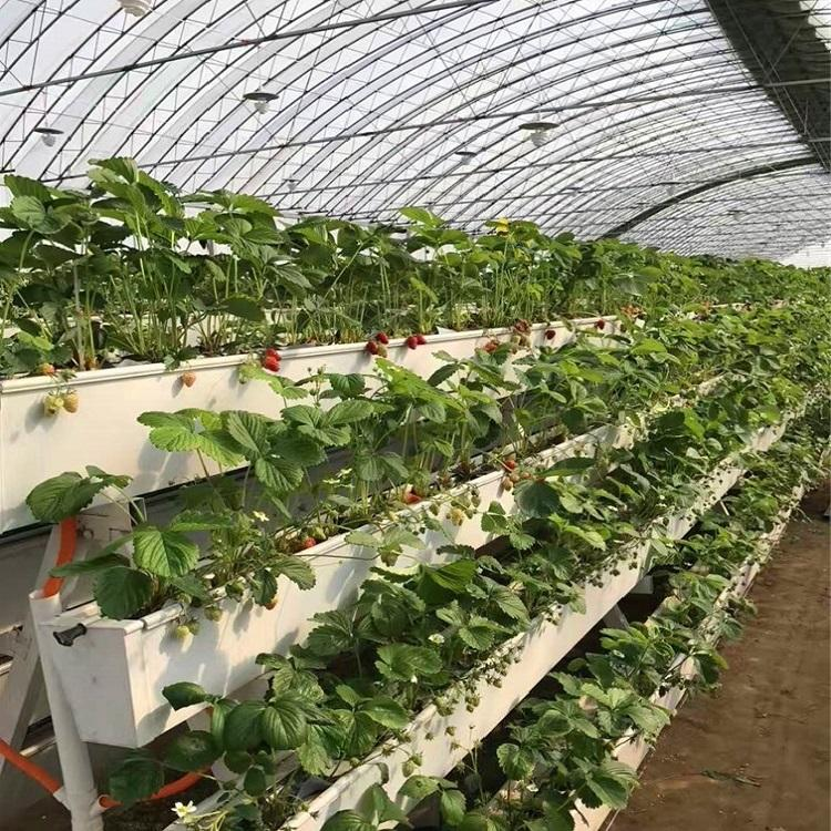 Skyplant NFT Gully/Channel of Strawberry Hydroponic System