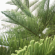 Touchhealthy supply Araucaria heterophylla seeds for planting