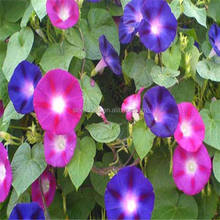 Qian Niu Hua Latest High Quality Flower Seeds Petunia