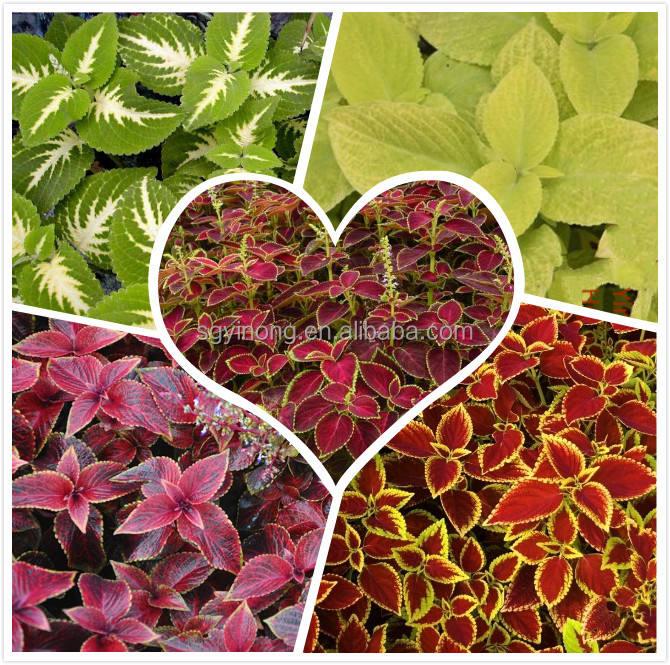 Híbrido f1 Coleus sementes para o cultivo da semente de flor