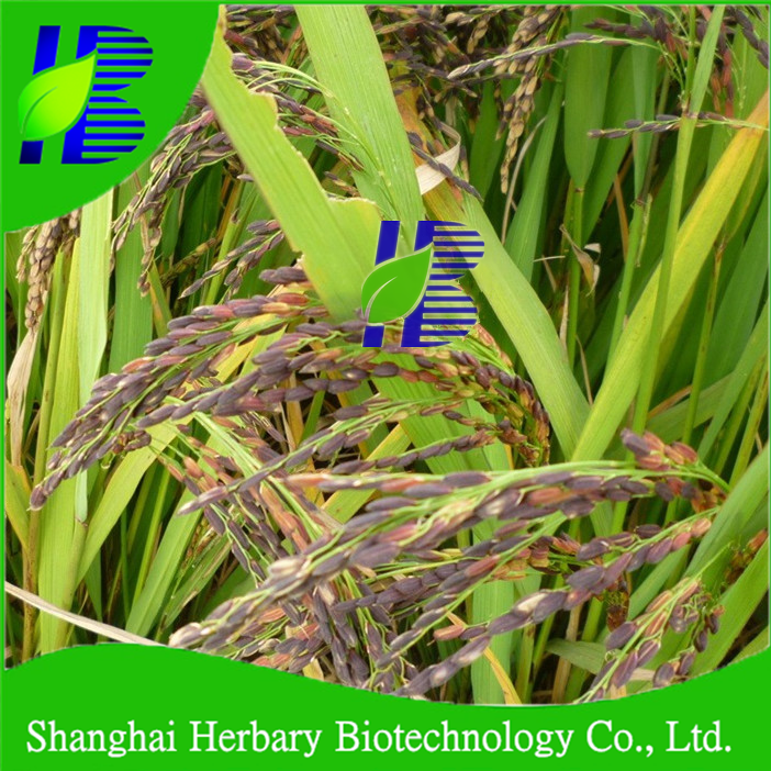 2020 Hybrid Black Rice Seeds For Growing