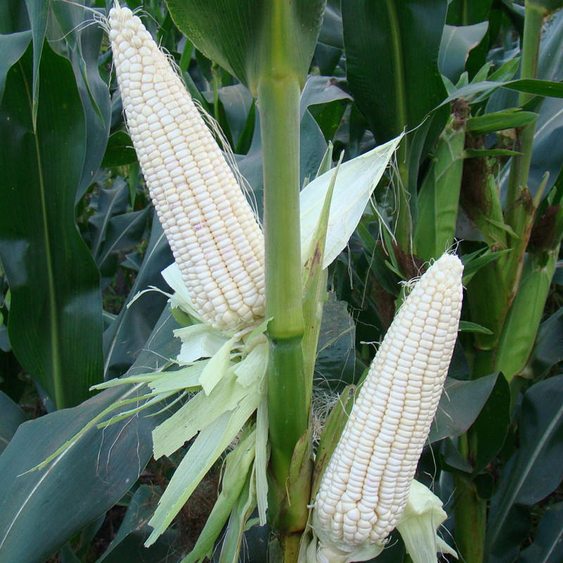 2020 Excellent Quality Hybrid F1 Sweet Corn Seed For Sale
