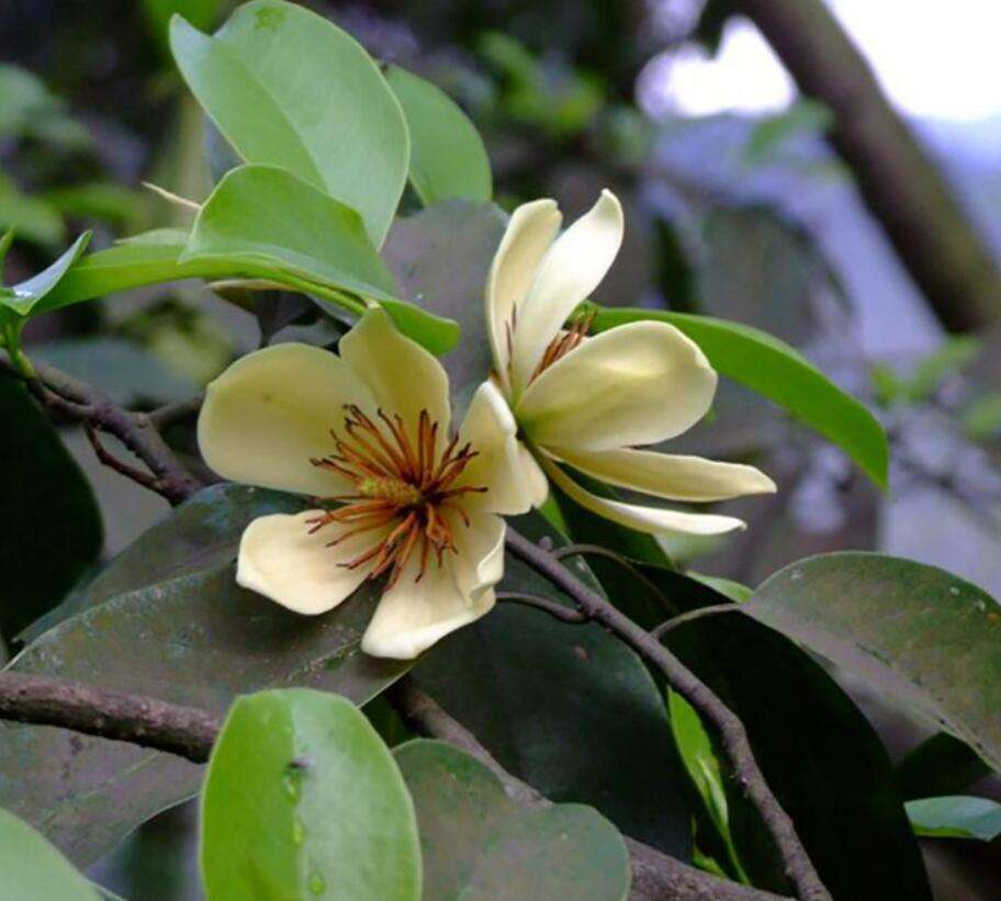 Bulk supply fragrant flower seed Michelia chapensis seeds for sowing