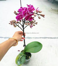 H20-35cm Mini Phalaenopsis orchid plant in 2.5 inch pot with spike and buds