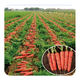 Hybrid F1 carrot seeds for growing high quality-Hong duo wei