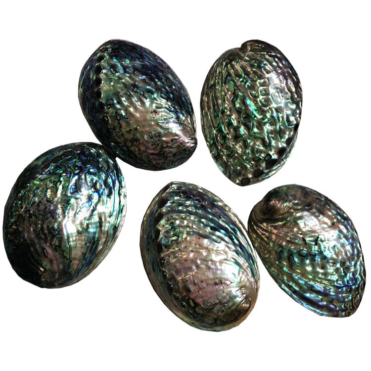 Polished natural abalone shell flashy large abalone shells wholesale price