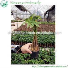 Money Trees Pachira for Sale