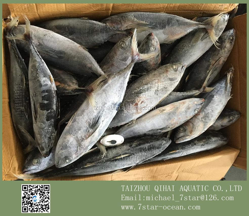 Foods Consumer Bonito Tuna Fish Factory Whole Sale 15kg 500-700g/pc