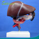 Anatomical Liver, Pancreas and Duodenum Model, Medical Digestive System Model