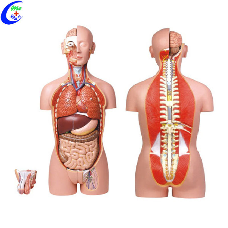 Medical Science Basic 3D Human Body Torso Model Kit