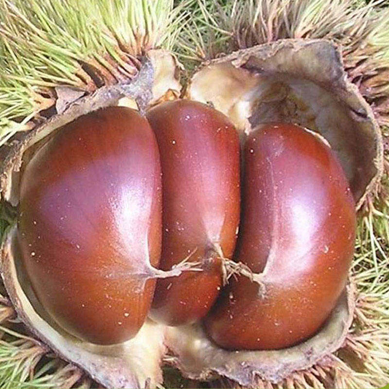 Chinese fresh sweet wholesale price chestnut
