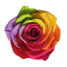 5-6cm  Stabilized Eternal real preserved flower rainbow roses head