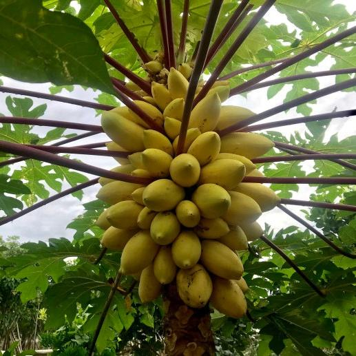 Newest variety yellow peel papaya seeds pawpaw seeds fruit tree seeds for planting