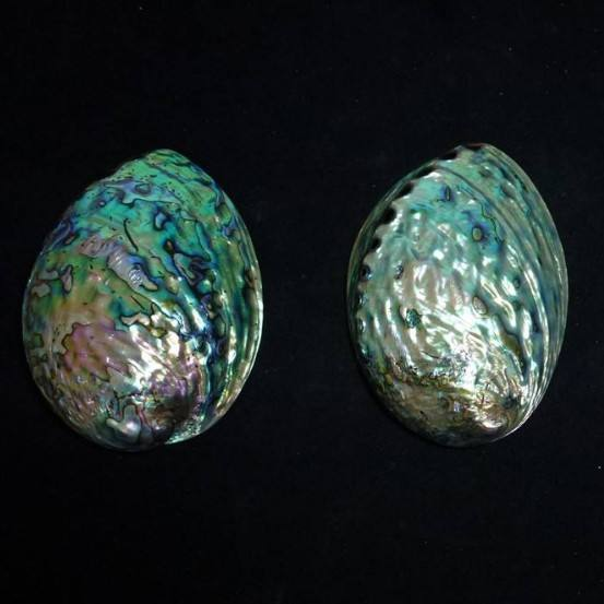 Polished new zealand abalone paua shells wholesale
